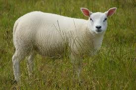 Fresh Cornish Lamb